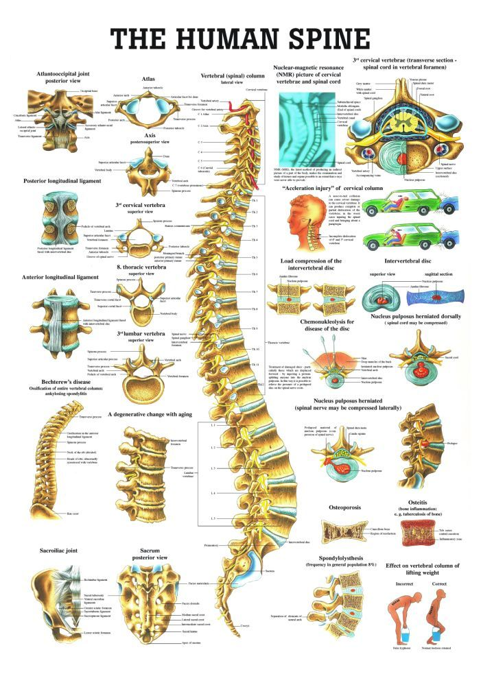 Chiropractic Human Spine